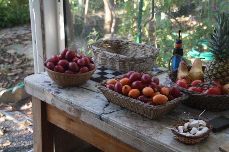 Tamarillo fruits du cyphomandra betacea r colte for Cherche jardinier 78