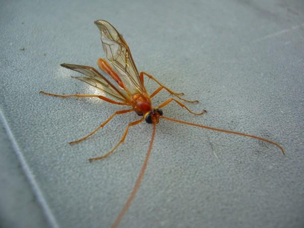 ichneumonidae long insecte corp rouge ail le monde des insectes. Black Bedroom Furniture Sets. Home Design Ideas