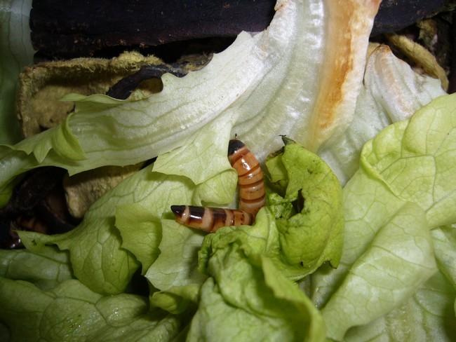 Elevage de morios for Ver mangeur de salade