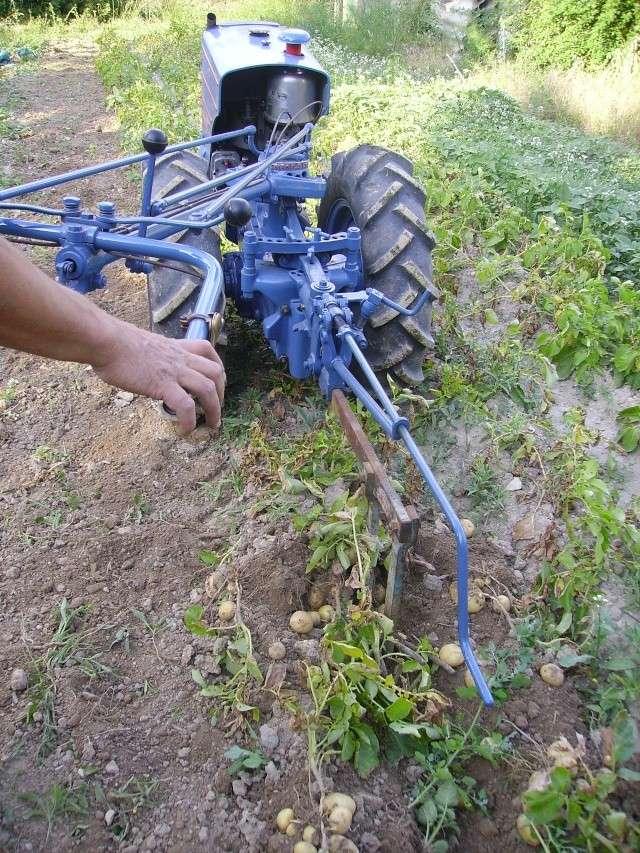 Ramassage des pommes de terre - Comment planter des patates ...