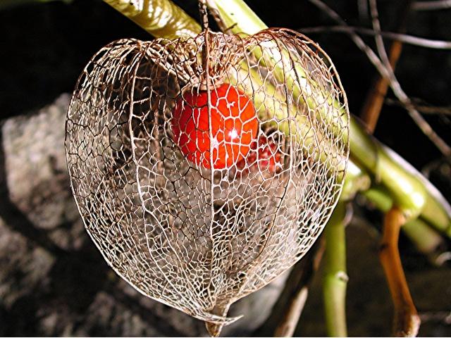 Passiflora - Amour en cage comestible ...