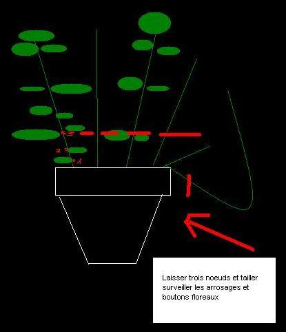 Basilic et menthe en pot - Entretien basilic en pot ...