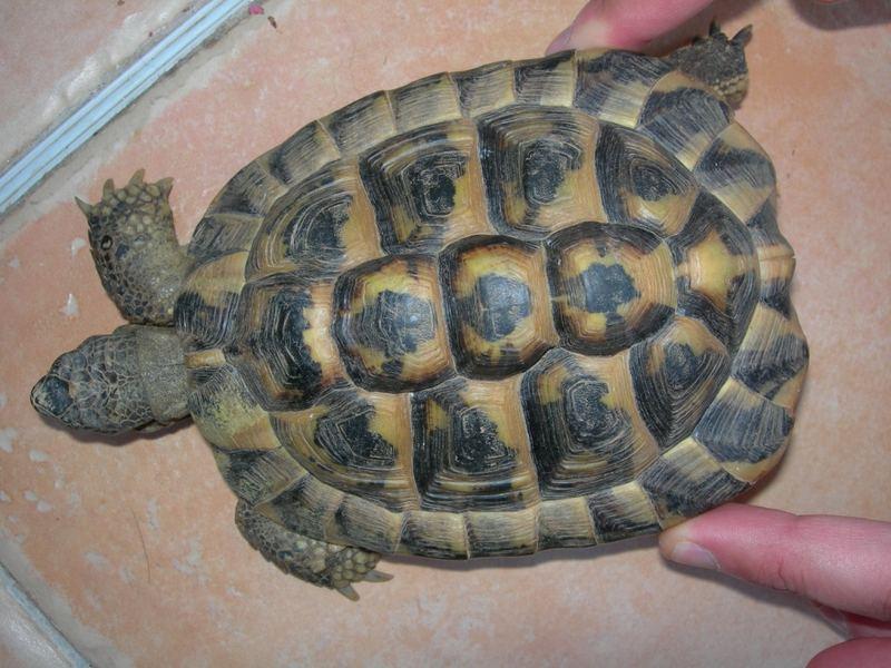 Maintient de la tortue d 39 herman tortues le monde des reptiles - Temperature dans un appartement ...
