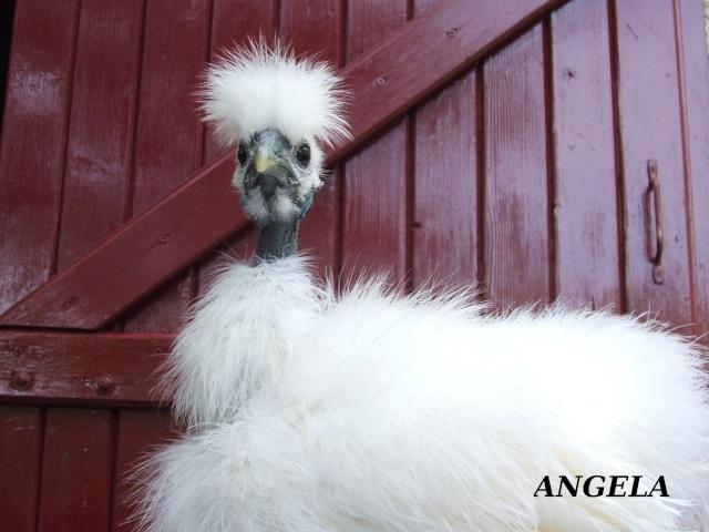poule soie showgirl