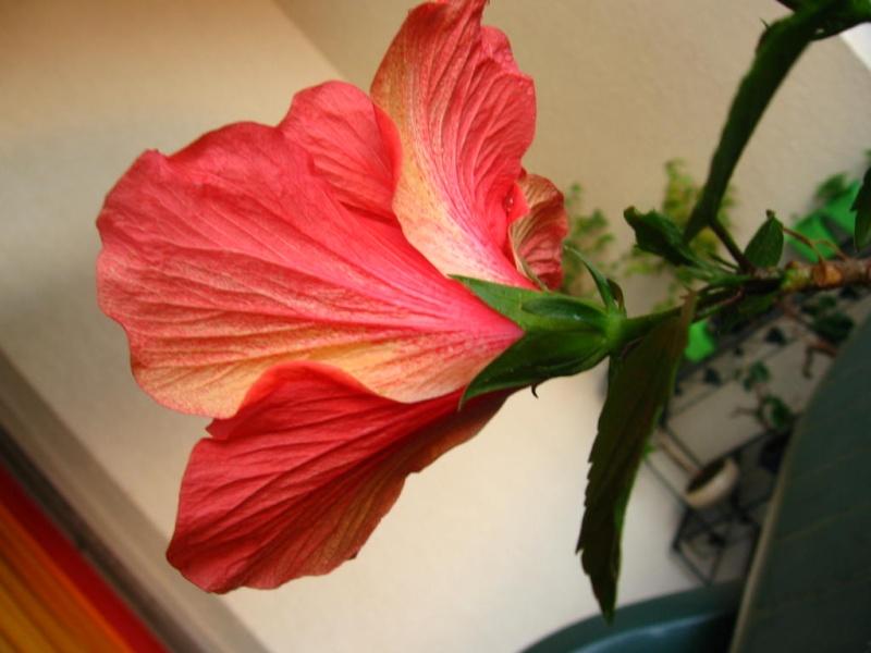 Mon hibiscus bonsa for Arrosage hibiscus exterieur