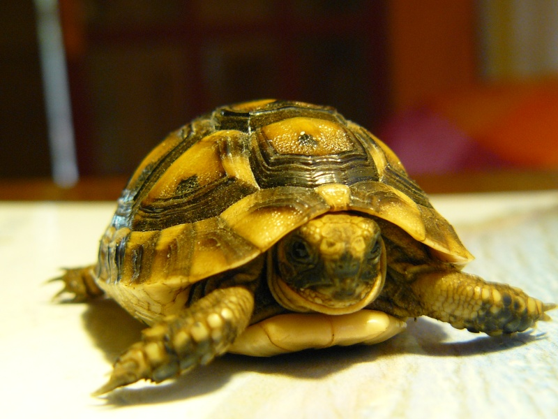 Ma petite tortue - Lampe chauffante tortue ...