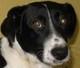 CANTOS (petit chien d'Espagne) - patte arrière ??? - en FA pour Galgos France