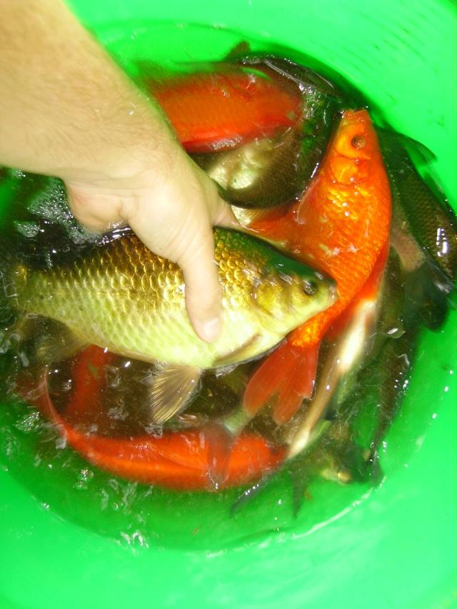 Vive les carassins poissons rouges et carpeaux for Nourriture poisson rouge super u