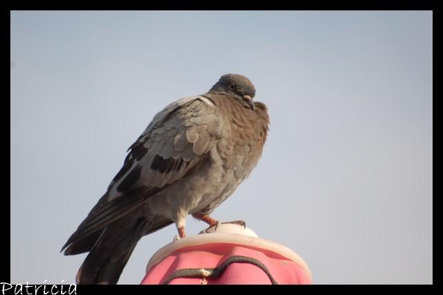 pigeon dans coup de GUEULE! 23210