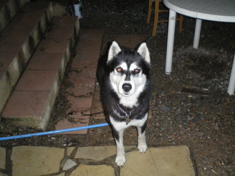 Black husky noir et blanc de 3ans 83 frejus adopte - Portail famille frejus ...