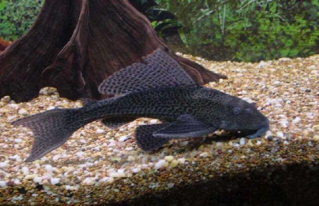 Animaux for Nettoyeur aquarium poisson