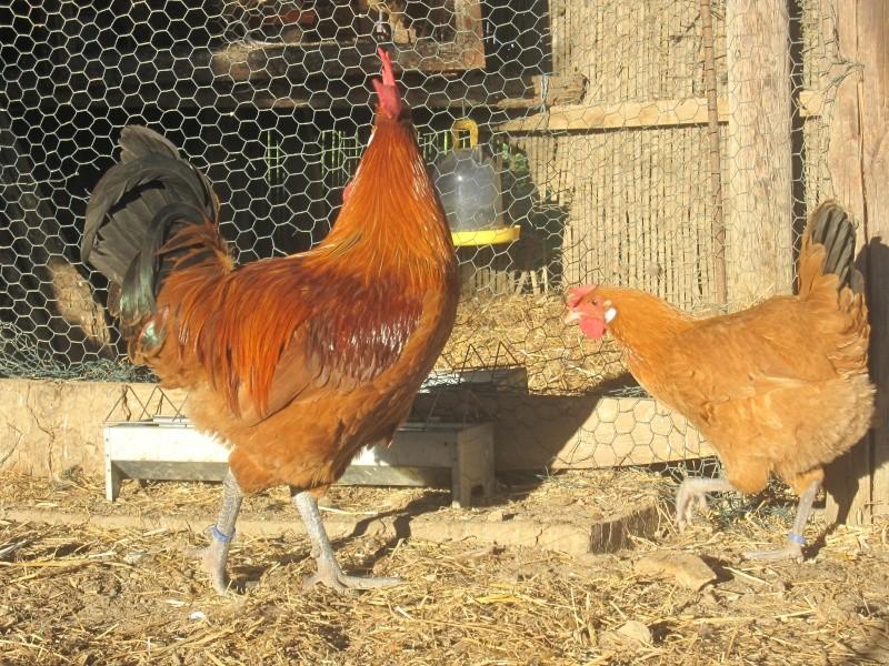 Parquets de reproduction pour 2013 - A quelle age pond une poule ...