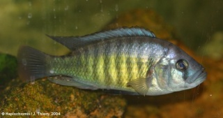 Astatotilapia Aenocolor : Haplochromis Melanopterus Makobe Island